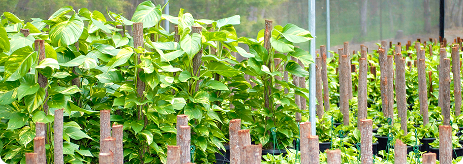 wholesale indoor plants tropical plant nursery brisbane qld tropical exotics brisbane office plants