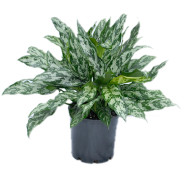 Aglaonema Emerald Queen