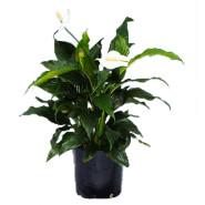 Spathiphyllum Sweet Dario