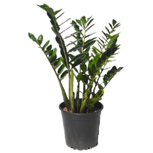 Indoor plants for sale online tropical plant nursery brisbane qld tropical exotics part 3 - Hardy office plants ...