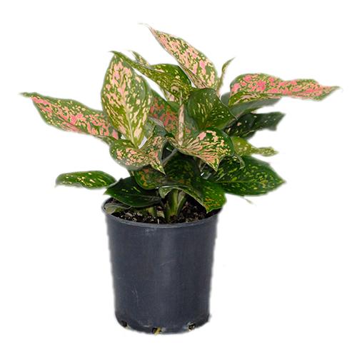 Indoor Plants For Sale | Online Tropical Plant Nursery ...