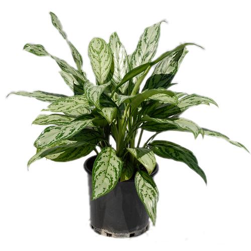 Indoor Plants For Sale Online Tropical Plant Nursery